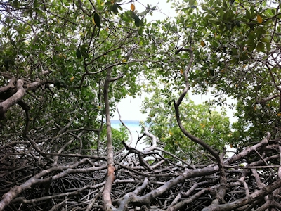 Mangrove Ecology & Conservation
