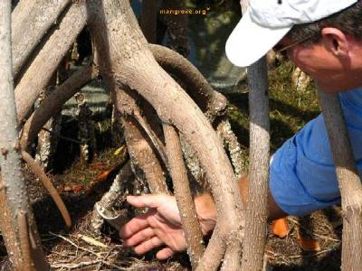 Mangrove Morphology & Physiology