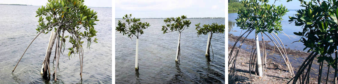 REM Principle of Mangrove Adaptation