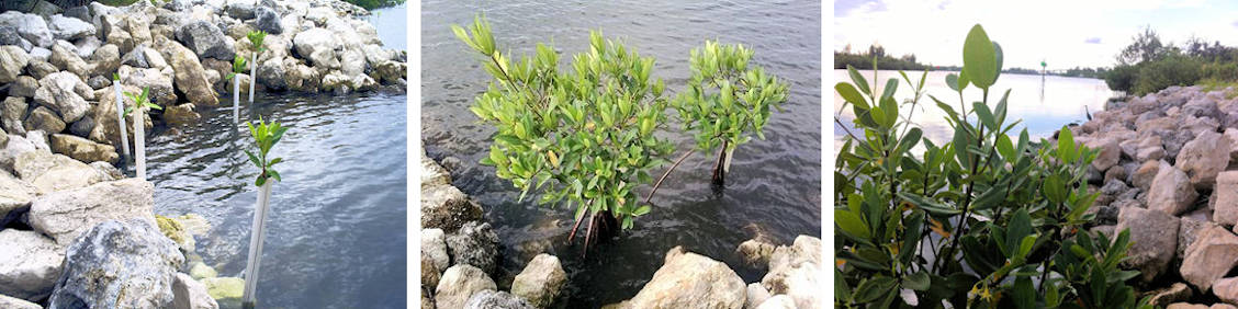 Revetment Mangrove Mitigation