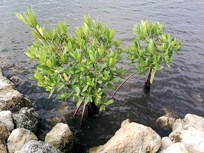 Non-Native Mangrove Environments