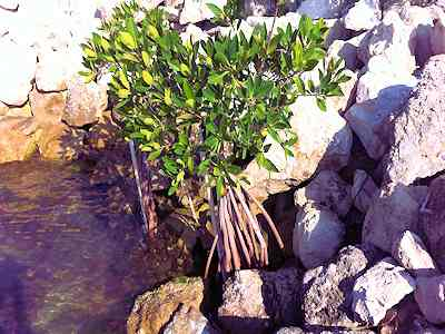 Mangrove Mitigation and Restoration