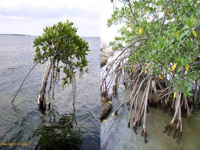 Principle of Mangrove Adaptation
